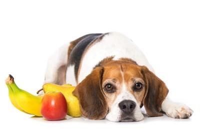 果物の横で伏せる犬