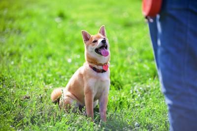 飼い主の指示を待つ柴犬