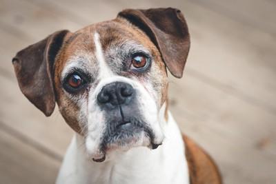 不思議そうにこちらを見つめる犬