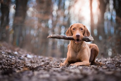 木の棒を咥えて伏せる犬