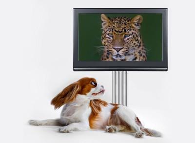 テレビに映るヒョウと見ている犬