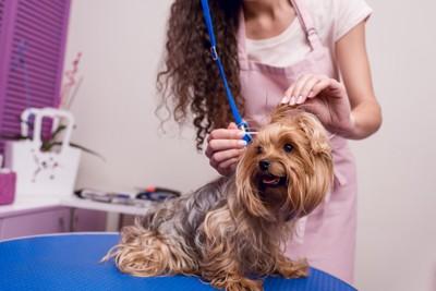 美容室で耳掃除される犬