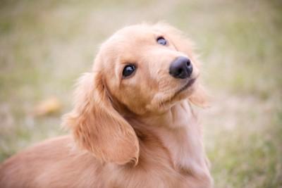 何かを見つめているダックスの子犬