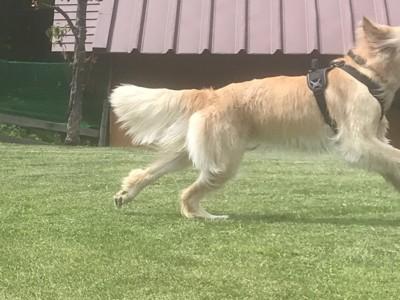 芝生の上を思い切り走る犬