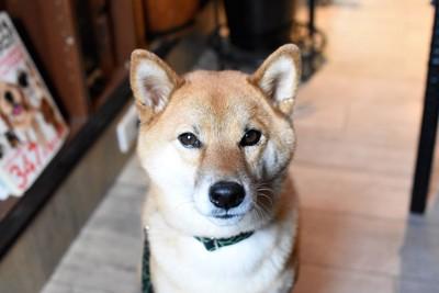 真剣にこちらを見つめる犬