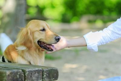 飼い主に顔を撫でられるゴールデンレトリバー