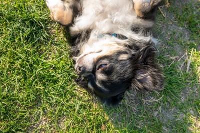 草の上で仰向けになるチワワ
