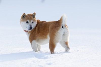 雪の中振り返る柴犬