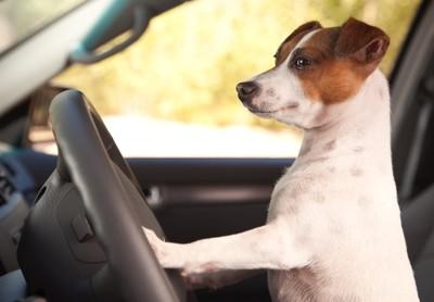 運転席に座ったジャックラッセル