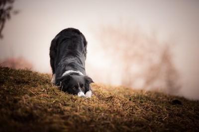 伏せをする犬