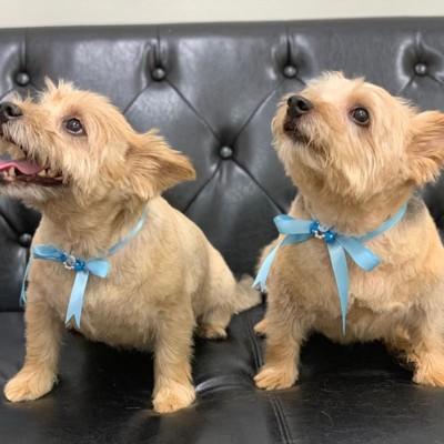 座っている青いリボンの2匹の犬