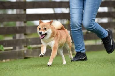 走る人の足元と柴犬