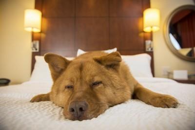 ベッドの上でくつろぐ犬