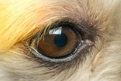 犬の目アップ