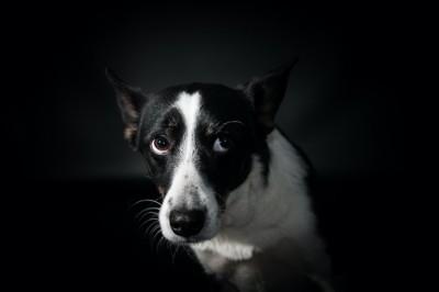 上目遣いで不安そうに見つめる白黒の犬