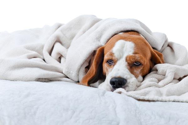 毛布にくるまって寝ている犬