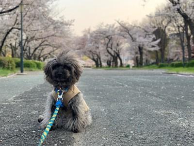 桜並木とエマさん