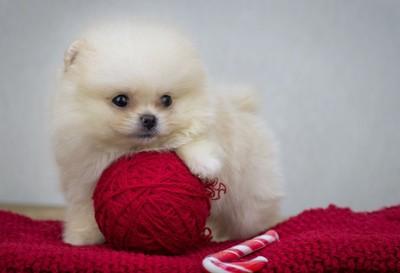 毛糸の玉とポメラニアンの子犬