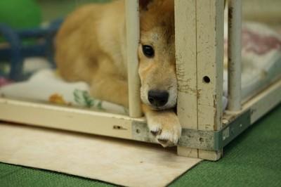 ケージから顔を出す子犬