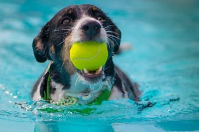 ボールを咥えながら水遊びをしている犬