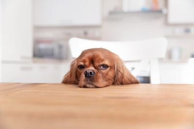 テーブルに顎を乗せている犬