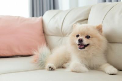 ソファーで笑顔のポメラニアン