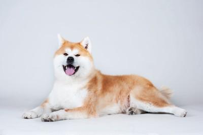 笑顔で伏せている秋田犬