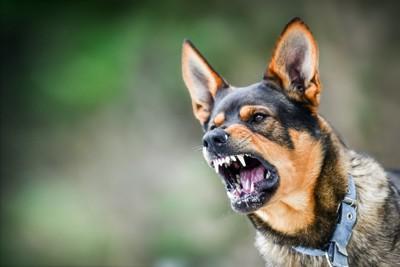 激しく威嚇する青い首輪の犬
