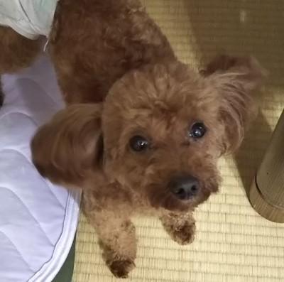 和室で見上げる愛犬
