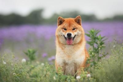 草花と笑顔の柴犬