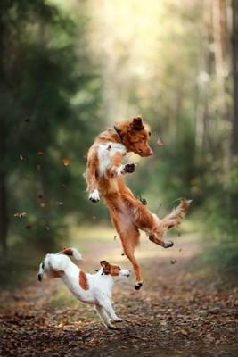 ジャンプする2頭の犬
