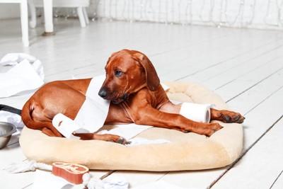トイレットペーパーで遊んでいる犬