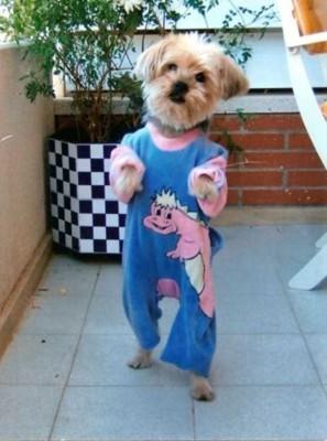 恐竜のパジャマで立つ犬