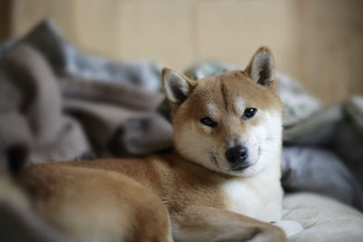 ベッドでくつろぎながらこちらを見つめる柴犬