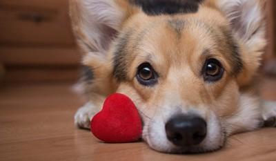赤いハートとこちらを見つめる犬