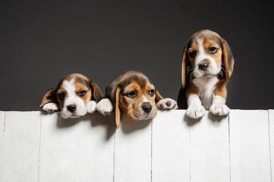 塀から顔を覗かせる3頭のビーグル犬
