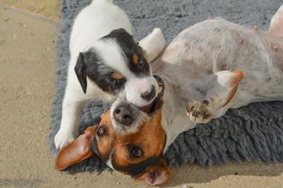 仰向けで噛む親犬