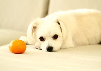 みかんとソファに寝ている犬