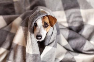 毛布に包まってこちらを見つめる犬
