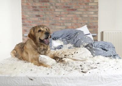 ベッドを破壊した大型犬