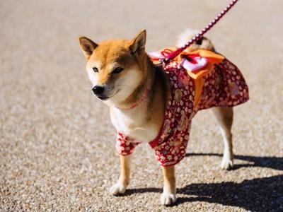 浴衣を着て散歩をしている柴犬