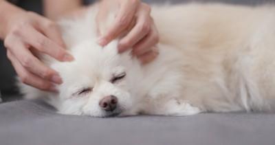 寝ながら耳を触れている犬