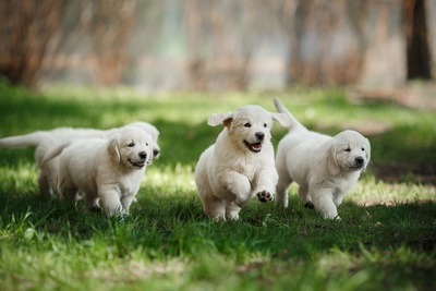走っている子犬たち