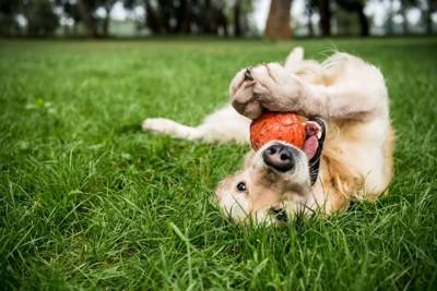 芝生の上でボールをくわえて転がる犬
