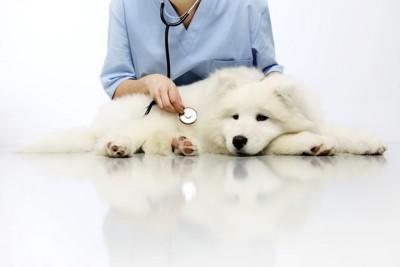 138743797 聴診器を当てられる犬