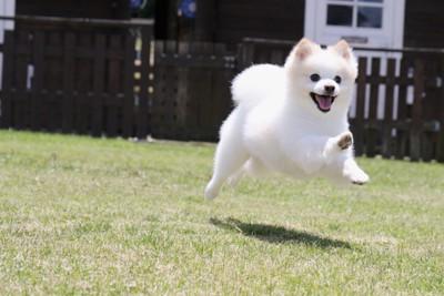 走る白いポメラニアン