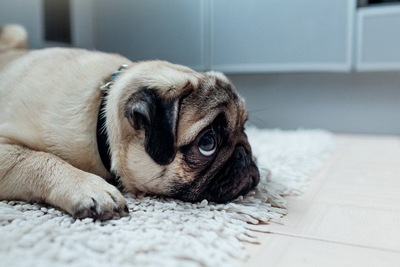 寝そべって上目遣いで何かを見つめるパグ