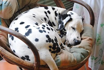 椅子の上で丸まって寝るダルメシアン