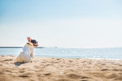 海辺に座るフレンチブルドッグ