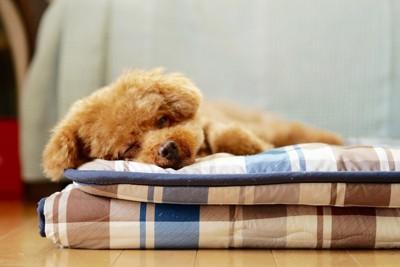 畳んだ布団で寝るトイプードル